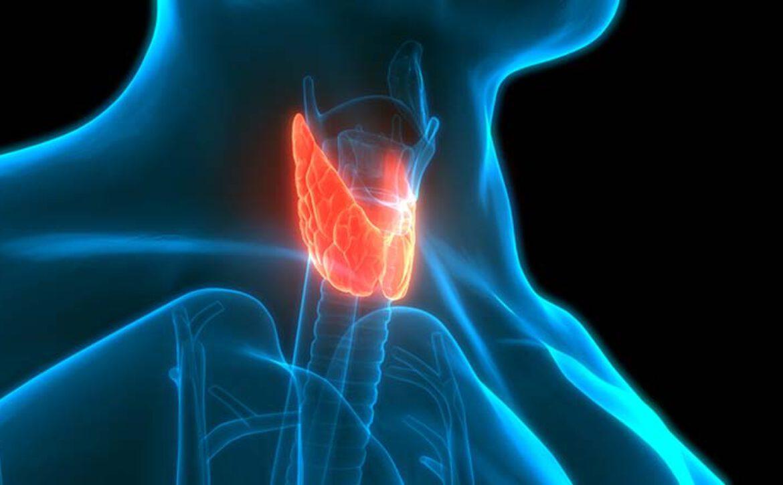 Human,Glands,Lobes,Of,Thyroid,Gland,Anatomy.,3d